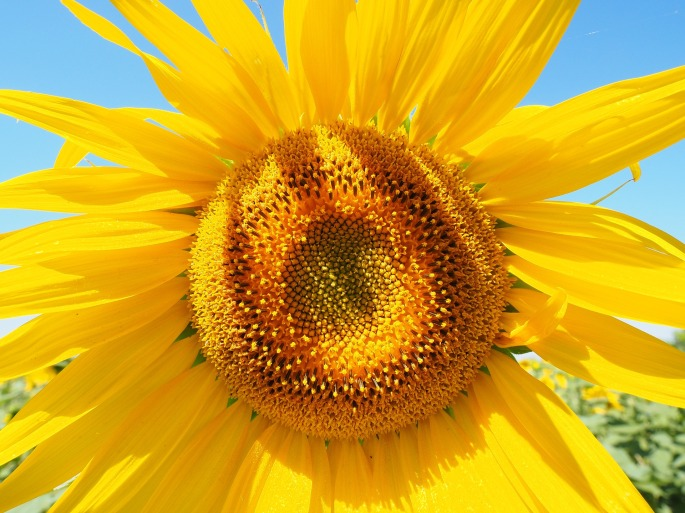 sun-flower-1521852_1920